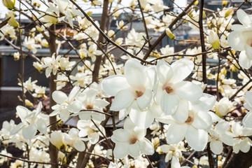 Magnolia,beautiful white flower