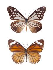 tiger spots butterflies