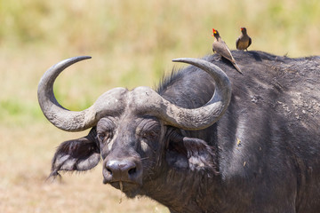 African buffalo with yellow-billed oxpecker on its head