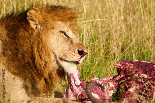 Lion eats meat