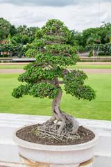 Bonsai bending tree elegant