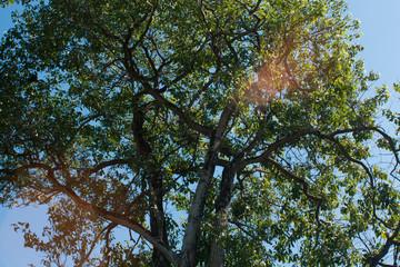 big tree on sunshine