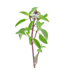 Sweet Basil with water drops on white background