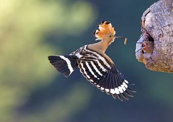 Wiedehopf füttert seine Jungtiere