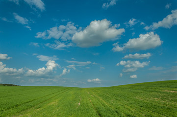 agricultural landscape. the beautiful green field under the blue cloudy sky. shoots of grain crops