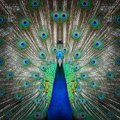 peacock face close up