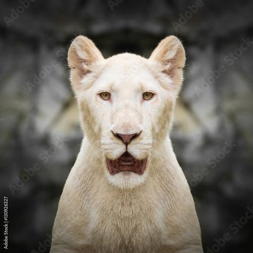 White lion face close up