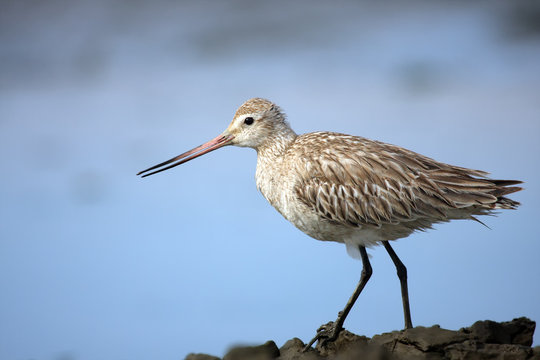 The bar-tailed godwit (Limosa lapponica), non-breeding plumage, with blue background