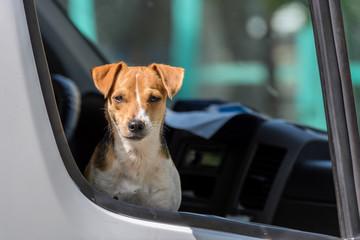 Jack Russell Terrier in open pickup car window