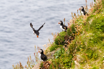 Cute puffins on Scottish cliffs