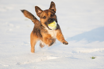 Border terrier cross dog running in snow with ball