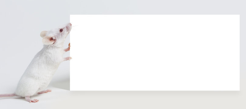 White mouse holding blank sign on white background.