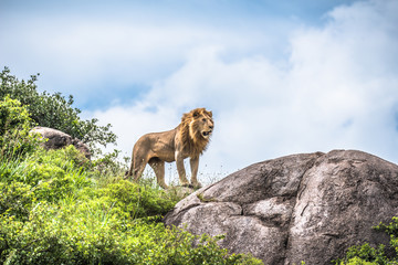 Alpha male lion staring into the distance, Serengeti, Tanzania, Africa
