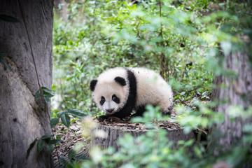 Cute young panda
