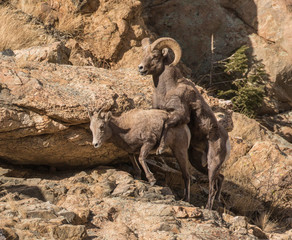 Lamb Under Construction - A bighorn ram mounts a ewe in estrous and begins the mating behavior. With luck a lamb will be born in 6 months.