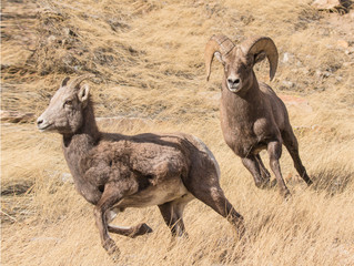 Chasing Ewe - A bighorn ram pursues a ewe in estrous and is ready to mate. The ewe will run, but not for long.