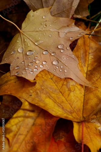 """Autumn leaves with raindrops"" Stock photo and royalty ..."