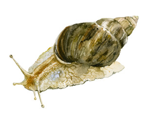 Vector watercolor snail illustration isolated on white background. Achatina fulica