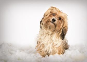 havanese puppy dog in winter studio