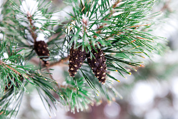 Branch of Green pine tree and pinecone covered with snow. Winter and christmas background.