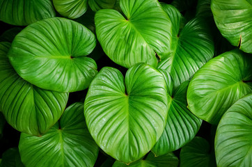 Close up tropical nature green leaf caladium texture background.