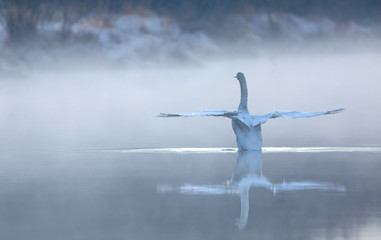 Photo sur Toile Cygne Cygne sur l'eau