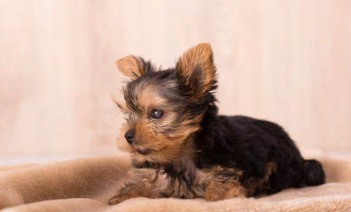 Photo of a blind Yorkshire Terrier