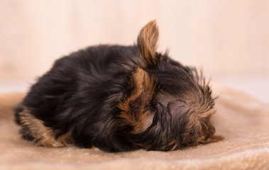 Beautiful puppy Yorkshire Terrier relaxing