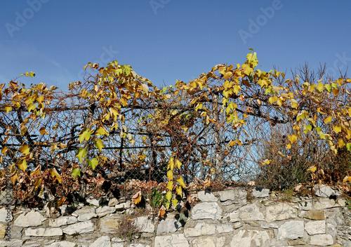 Piccola vigna con foglie secche su una rete di metallo for Rete con foglie finte