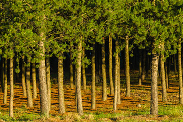Forest Pine Trees