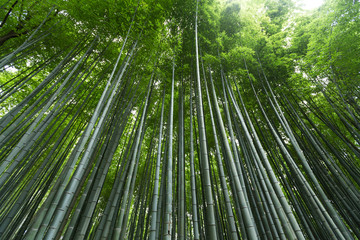 Bamboo grove forest