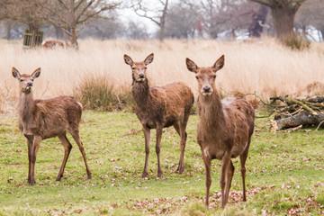 Deers roaming free in the outdoors park