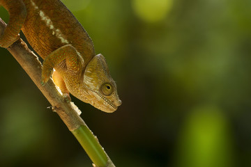 Closeup of a cameleon in his natural habitat, Madagascar.