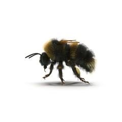 Buff-tailed bumblebee, Bombus terrestris, isolated on white. 3D illustration