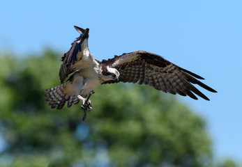 Osprey with Stick in Flight