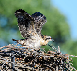 Juvenile Osprey Sitting on the Nest with Open Wings