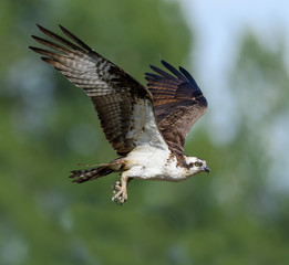 Male Osprey in Flight  on Green Background