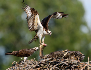 Male Osprey Brings a Fish to the Nest