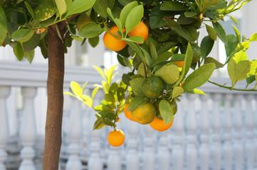 Orange mandarin fruits at green tree