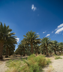 Palm trees perspective view. Palm grove in the summer sunny day on a background of blue sky