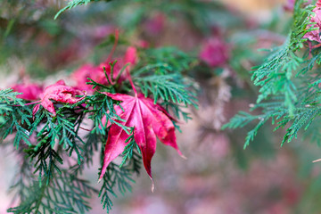 Closeup of pink maple leaf on coniferous pine tree with fallen l