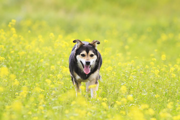cute dog walks on a summer flowering meadow yellow
