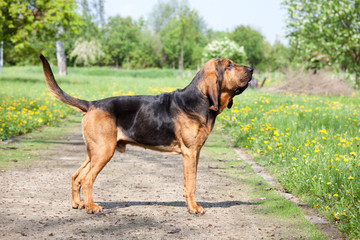 Portrait of nice bloodhound
