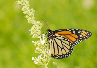 Female Monarch butterfly feeding on white Butterfly Bush fllowers, with green background