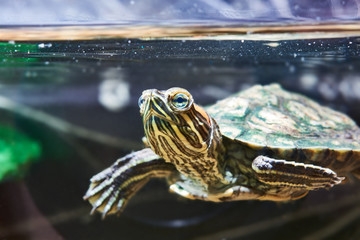Small red-eared turtle in water