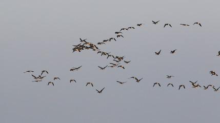 Flock of birds, greylag goose (Anser anser) in flight