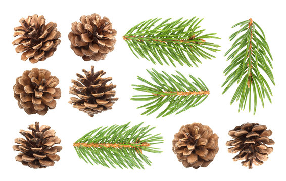 Fir tree branch and pine cones isolated on white background