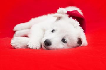 White Swiss Shepherd puppy in a Christmas hat