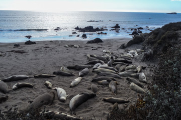 A colony of  sea lions, San Simeon, Pacific ocean, California, USA.