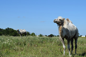Camel on a pasture